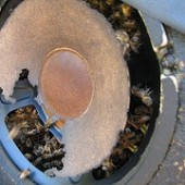 Songs In The Key Of Bee: Rescuing Honey Bees From A Stereo Speaker