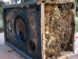 speakerbees 300x225 Songs In The Key Of Bee: Rescuing Honey Bees From A Stereo Speaker