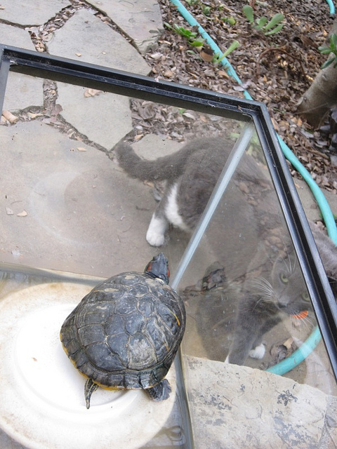 jackandpannonica Turtle Update: Jacks Maiden Voyage In The Koi Pond