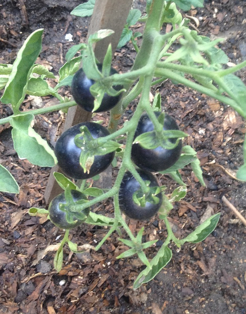 black cherry tomato is the star of my victory garden my roman apartment. Black Bedroom Furniture Sets. Home Design Ideas